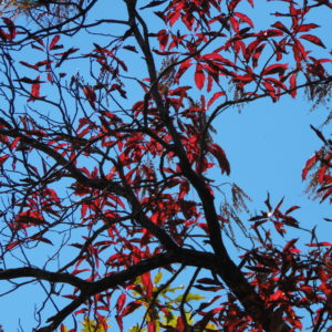 Blue Sky Red Leaves